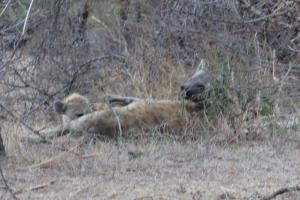 Hyena and suckling cub