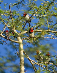 Black-collared Barbets