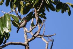 Neergaard's Sunbird
