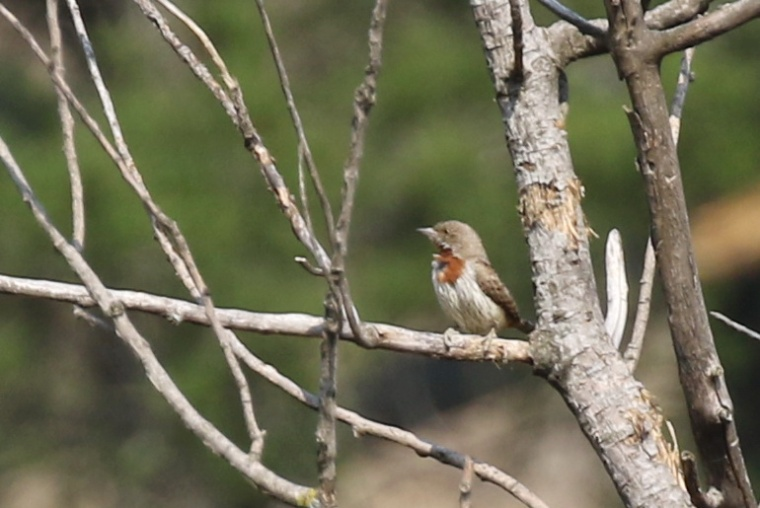 red-throated-wryneck