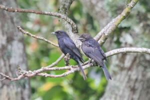 Southern Black Flycatchers - Parent and juvenile