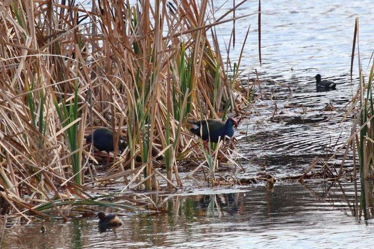 Purple Swamphen, Common Moorhen and Little Grebe