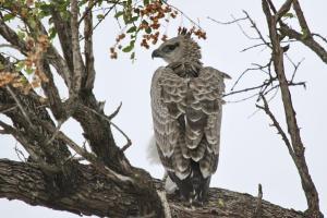 Martial Eagle - juvenile