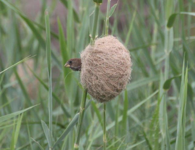 Juvenile Thick-billed Weaver
