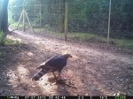 Crowned Eagle with its kill.