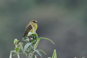 Forest Canary