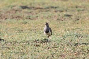 Senegal Lapwing - part of a group of 6