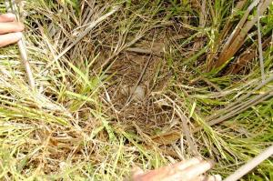 Yellow-billed Duck nest